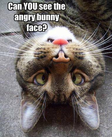 Angry bunny face cat