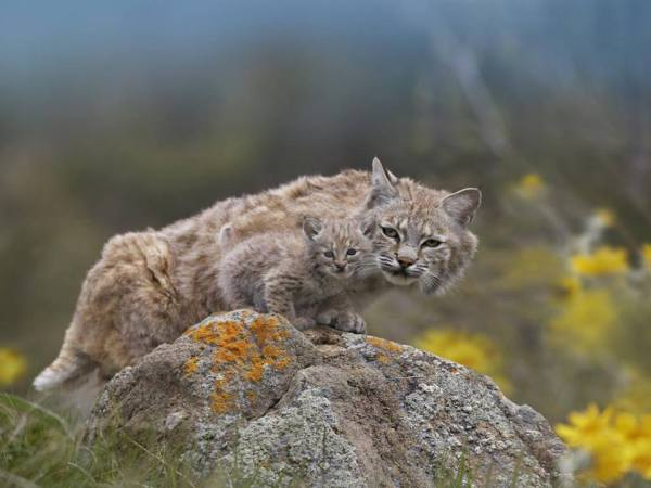 Bobcat mom and baby