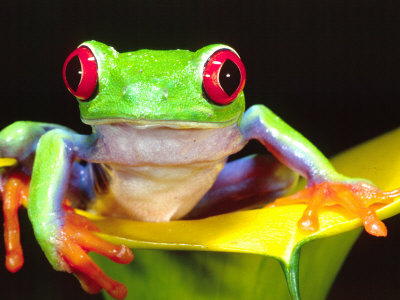 Red Eye Tree Frog on a Calla Lily