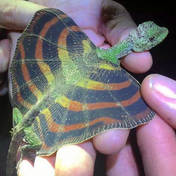 draco-lizard
